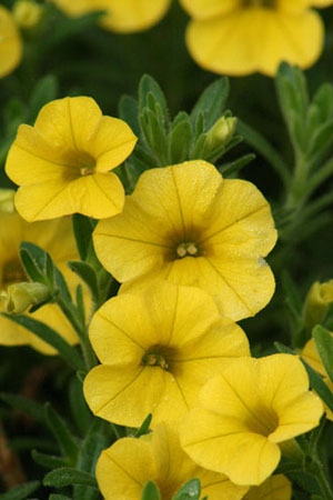 Calibrachoa - Callie Deep Yellow