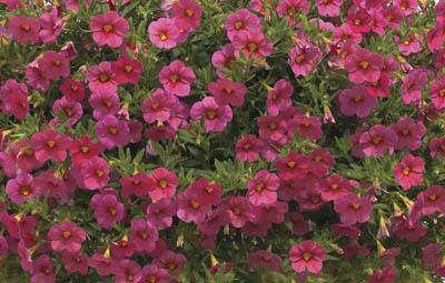 Calibrachoa - Callie Coral Pink