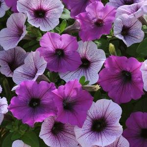 Wave Petunia - Plum Pudding Mix