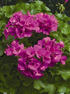 Geranium - Caliente Lavender