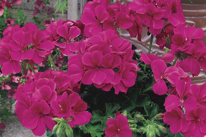 Geranium - Caliente Rose