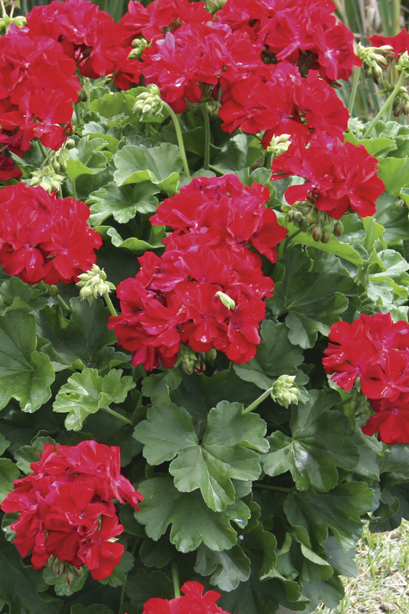 Geranium - Calliope Dark Red
