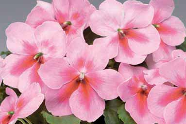 Impatiens - Spellbound Pink Splash