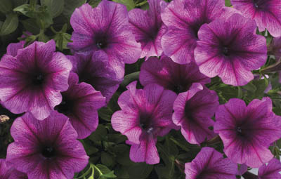 Super Petunia - Plum Vein