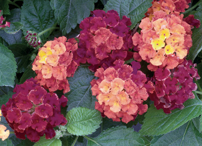 Lantana - Bandana Cherry Sunrise