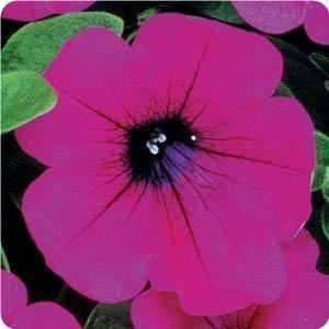 Wave Petunia - Purple