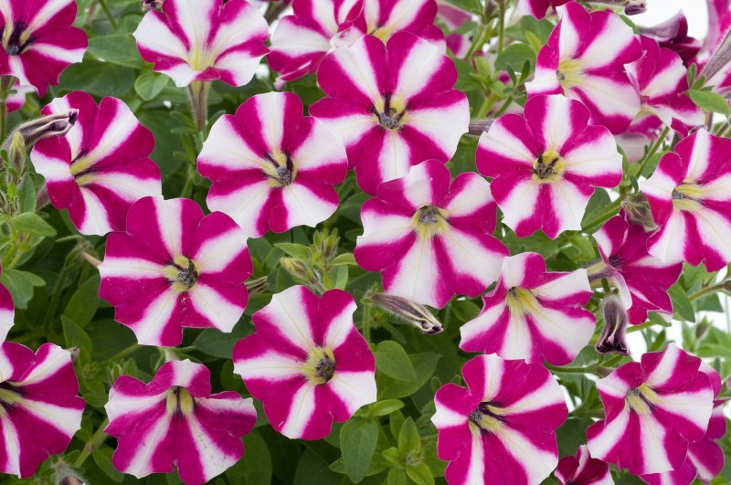 Super Petunia - Littletunia Bicolor Illusion