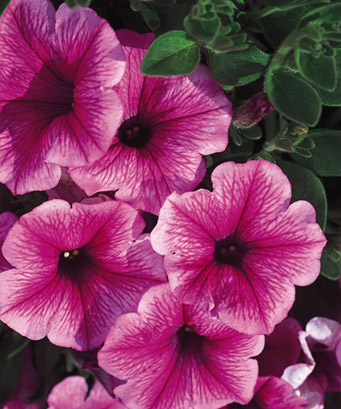 Super Petunia - Mini Strawberry Pink Veined